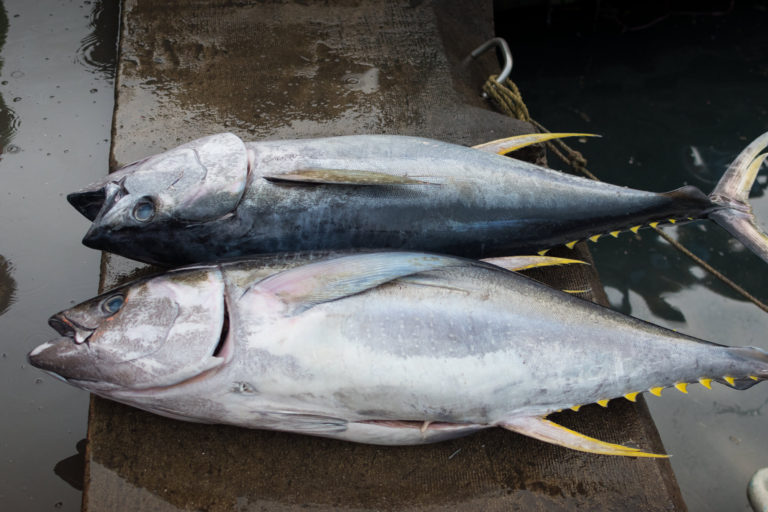 Photography of two Tunas caught on Maldives near capital Malé