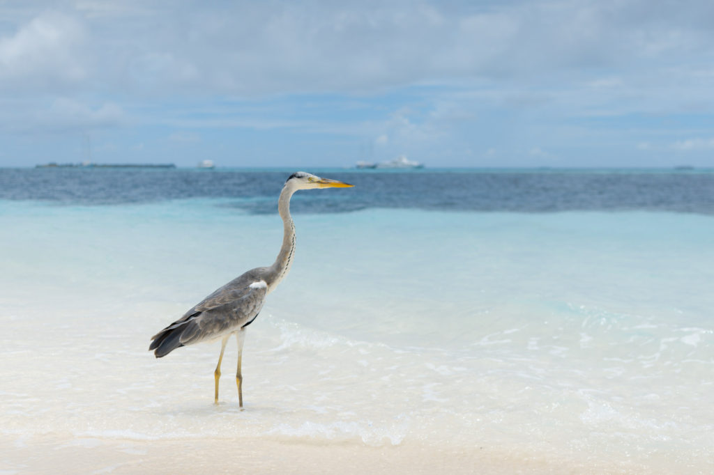 I'm watching a pelican on the beach in Maldives